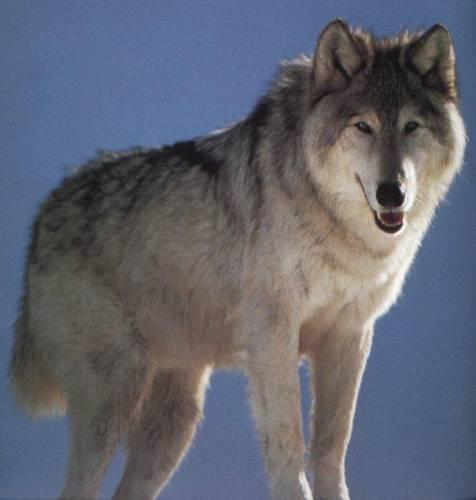 Волк. Происхождение, систематика, морфология, экология
